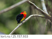 Купить «Band-tailed manakin (Pipra fasciicauda) male, Panguana Reserve, Huanuca province, Amazon basin, Peru.», фото № 25157933, снято 26 марта 2019 г. (c) Nature Picture Library / Фотобанк Лори