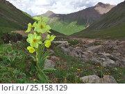 Купить «Poppy (Meconopsis integrifolia) flower, in landscape, Serxu, Shiqu county, Sichuan Province, Qinghai-Tibet Plateau, China.», фото № 25158129, снято 21 июня 2018 г. (c) Nature Picture Library / Фотобанк Лори