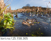 Купить «Common frogs (Rana temporaria) mating surrounded by spawn in pond, West Runton North Norfolk, England, UK, March.», фото № 25158305, снято 15 августа 2018 г. (c) Nature Picture Library / Фотобанк Лори