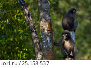 Dusky leaf monkey (Trachypithecus obscurus)s sitting on a tree stump  . Khao Sam Roi Yot National Park, Thailand. March 2015. Стоковое фото, фотограф Anup Shah / Nature Picture Library / Фотобанк Лори