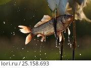 Купить «Great white egret (Egretta alba or Ardea alba) catching cyprionid fish or carp in fish farm, Pusztaszer Protected Landscape, Kiskunsagi, Hungary, May», фото № 25158693, снято 24 января 2019 г. (c) Nature Picture Library / Фотобанк Лори