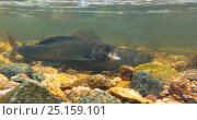 Купить «Male Arctic grayling (Thymalus arcticus) swimming alongside a female during the annual spawning run in a North Park, Colorado, USA, June.», фото № 25159101, снято 15 августа 2018 г. (c) Nature Picture Library / Фотобанк Лори