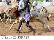 Купить «Men lining up bulls for the Jumping of the Bulls Hamer ceremony, where naked boys will leap along the backs of the bulls as aright of passage into manhood. Ethiopia, November 2014», фото № 25159129, снято 17 августа 2018 г. (c) Nature Picture Library / Фотобанк Лори