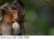 Long-tailed macaque (Macaca fascicularis) infants. Khao Sam Roi Yot National Park, Thailand. Стоковое фото, фотограф Anup Shah / Nature Picture Library / Фотобанк Лори