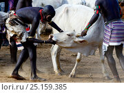 Купить «Men lining up bulls for the Jumping of the Bulls Hamer ceremony, where naked boys will leap along the backs of the bulls as aright of passage into manhood. Ethiopia, November 2014», фото № 25159385, снято 17 августа 2018 г. (c) Nature Picture Library / Фотобанк Лори