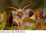 Купить «Emperor moth (Saturnia pavonia) male, showing antennae that he uses to locate females with from great distances. Peak District National Park, UK. April.», фото № 25159813, снято 27 апреля 2018 г. (c) Nature Picture Library / Фотобанк Лори
