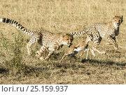 Купить «Cheetah (Acinonyx jubatus), cub age 8 months hunting baby gazelle, Masai-Mara Game Reserve, Kenya», фото № 25159937, снято 8 октября 2019 г. (c) Nature Picture Library / Фотобанк Лори