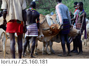 Купить «Men lining up bulls for the Jumping of the Bulls Hamer ceremony, where naked boys will leap along the backs of the bulls as aright of passage into manhood. Ethiopia, November 2014», фото № 25160181, снято 14 декабря 2017 г. (c) Nature Picture Library / Фотобанк Лори