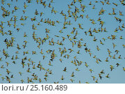 Купить «Flock of Budgerigars (Melopsittacus undulatus) in flight, Northern Territory, Australia.», фото № 25160489, снято 18 января 2019 г. (c) Nature Picture Library / Фотобанк Лори