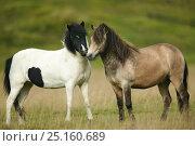 Купить «Icelandic horses, two interacting, Iceland, August.», фото № 25160689, снято 16 августа 2018 г. (c) Nature Picture Library / Фотобанк Лори