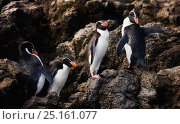 Купить «Snares Penguin (Eudyptes robustus) group of four on rocks, Snares Island, Sub-Antarctic New Zealand.», фото № 25161077, снято 20 января 2020 г. (c) Nature Picture Library / Фотобанк Лори