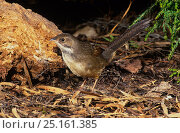 Купить «Noisy scrub bird (Atrichornis clamosus) Western Australia. Endemic species.», фото № 25161385, снято 19 августа 2018 г. (c) Nature Picture Library / Фотобанк Лори