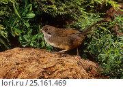 Купить «Noisy scrub bird (Atrichornis clamosus) Western Australia. Endemic species.», фото № 25161469, снято 19 августа 2018 г. (c) Nature Picture Library / Фотобанк Лори