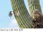 Great horned owl (Bubo virginianus) chick nesting in Saguaro cactus (Carnegiea gigantea) and Gila woodpecker (Melanerpes uropygialis) landing at nest hole, Santa Catalina Mountains, Arizona, USA, May. Стоковое фото, фотограф Jack Dykinga / Nature Picture Library / Фотобанк Лори