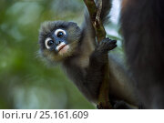 Dusky leaf monkey (Trachypithecus obscurus) baby playing  . Khao Sam Roi Yot National Park, Thailand. March 2015. Стоковое фото, фотограф Anup Shah / Nature Picture Library / Фотобанк Лори