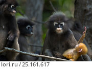 Dusky leaf monkeys (Trachypithecus obscurus) in  tree, one holding baby . Khao Sam Roi Yot National Park, Thailand. Стоковое фото, фотограф Anup Shah / Nature Picture Library / Фотобанк Лори