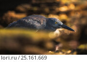 Купить «Lava heron (Butorides sundevalli) on shore, Galapagos. Endemic species.», фото № 25161669, снято 17 февраля 2020 г. (c) Nature Picture Library / Фотобанк Лори
