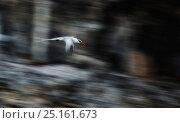 Купить «Red-billed tropicbird (Phaethon aethereus mesonauta) in flight, Galapagos Islands.», фото № 25161673, снято 18 июня 2019 г. (c) Nature Picture Library / Фотобанк Лори