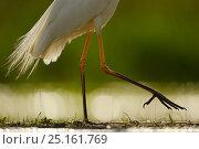 Купить «Great White Egret (Egretta alba or Ardea alba) walking through mud,  Pusztaszer protected landscape, Kiskunsagi, Hungary, May», фото № 25161769, снято 24 января 2019 г. (c) Nature Picture Library / Фотобанк Лори