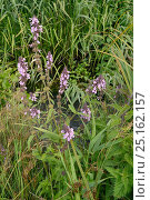 Купить «Marsh woundwort (Stachys palustris) clump flowering by a stream, Winfrith Heath, Dorset, UK, July.», фото № 25162157, снято 15 октября 2018 г. (c) Nature Picture Library / Фотобанк Лори