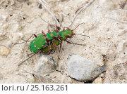 Green tiger beetle (Cicindela campestris) mating, Salisbury Plain, Wiltshire, UK, June. Стоковое фото, фотограф David Kjaer / Nature Picture Library / Фотобанк Лори