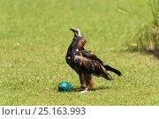 Купить «Black-breasted Buzzards (Hamirostra melanosternon), captive, using rock to open egg, Territory Wildlife Park, Berry Springs, Northern Territory, Australia.», фото № 25163993, снято 2 июля 2020 г. (c) Nature Picture Library / Фотобанк Лори