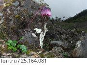 Купить «Himalayan daisy (Cremanthodium sp.) Lijiang Laojunshan National Park, Yunnan, China, July.», фото № 25164081, снято 23 января 2018 г. (c) Nature Picture Library / Фотобанк Лори