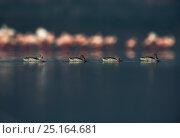 Купить «Cape teal (Anas capensis) group swimming past Lesser flamingos (Phoenicopterus minor) Lake Nakuru, Kenya.», фото № 25164681, снято 27 мая 2020 г. (c) Nature Picture Library / Фотобанк Лори