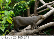 Купить «Jaguarundi (Puma yagouaroundi) grey phase on branch. Captive, native to Central and South America.», фото № 25165241, снято 13 марта 2019 г. (c) Nature Picture Library / Фотобанк Лори