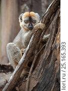 Купить «Red-fronted lemur (Eulemur rufifrons) male, Kirindy Forest, Madagascar.», фото № 25165393, снято 20 сентября 2018 г. (c) Nature Picture Library / Фотобанк Лори