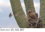 Great horned owl (Bubo virginianus) chicks nesting on Saguaro cactus (Carnegiea gigantea) and Gila woodpecker (Melanerpes uropygialis) landing at nest... Стоковое фото, фотограф Jack Dykinga / Nature Picture Library / Фотобанк Лори