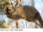 Купить «Red-fronted lemur (Eulemur rufifrons) male in tree, Kirindy Forest, Madagascar.», фото № 25165641, снято 21 сентября 2018 г. (c) Nature Picture Library / Фотобанк Лори
