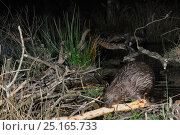 Купить «Eurasian beaver (Castor fiber) placing a branch stripped of bark on its dam in woodland enclosure at night, Devon Beaver Project, run by Devon Wildlife...», фото № 25165733, снято 28 января 2020 г. (c) Nature Picture Library / Фотобанк Лори