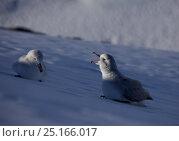 Купить «Southern fulmars (Fulmarus glacialoides) one calling calling, Antarctica.», фото № 25166017, снято 20 июня 2019 г. (c) Nature Picture Library / Фотобанк Лори