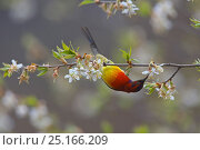 Купить «Mrs Gould's sunbird (Aethopyga gouldiae dabryii) male hanging upside down and feeding from Chinese wild peach (Prunus davidiana) male blossom, Kawakarpo...», фото № 25166209, снято 22 октября 2018 г. (c) Nature Picture Library / Фотобанк Лори