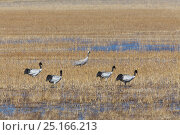 Common crane (Grus grus) and four Black necked cranes (Grus nigricollis) in wetland near to Napahai Lake, Zhongdian County, Yunnan Province, China. January. Стоковое фото, фотограф Dong Lei / Nature Picture Library / Фотобанк Лори