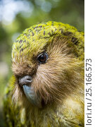 Kakapo (Strigops habroptilus) close up showing sensory facial feathers, Codfish Island / Whenua Hou, Southland, New Zealand, February. Critically endangered. Стоковое фото, фотограф Tui De Roy / Nature Picture Library / Фотобанк Лори