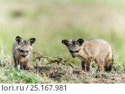 Купить «Bat-eared fox (Otocyon megalotis) pups near den, Masai Mara Game Reserve, Kenya, November.», фото № 25167981, снято 17 февраля 2020 г. (c) Nature Picture Library / Фотобанк Лори