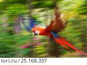 Купить «Scarlet macaw (Ara macao) flying, blurred motion. Costa Rica.», фото № 25168397, снято 23 июля 2019 г. (c) Nature Picture Library / Фотобанк Лори