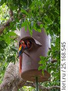 Купить «Scarlet macaw (Ara macao) in artificial nest hole,  El Manantial Macaw Sanctuary, Costa Rica.», фото № 25168545, снято 23 июля 2019 г. (c) Nature Picture Library / Фотобанк Лори