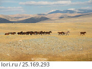 Купить «Band of wild Mongolian horses runs plains at the foot of Dungurukh Uul mountain, near the border with China and Kazakhstan, Bayan-Olgiy aymag, Mongolia. September.», фото № 25169293, снято 15 августа 2018 г. (c) Nature Picture Library / Фотобанк Лори