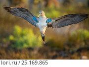 Купить «Blue-footed booby (Sula nebouxii) displaying, Santa Cruz Island, Galapagos, Ecuador.», фото № 25169865, снято 17 июля 2019 г. (c) Nature Picture Library / Фотобанк Лори