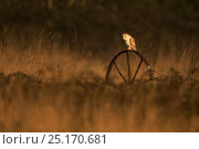 Barn owl (Tyto alba) on old wheel, Stow Maries, England, UK, March. Стоковое фото, фотограф Andy Rouse / Nature Picture Library / Фотобанк Лори