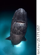 Купить «Greenland shark (Somniosus microcephalus) with parasitic copepod (Ommatokoita elongata), under ice, Lancaster Sound, Nunavut, northern Baffin Island, Canada, Arctic.», фото № 25171057, снято 27 марта 2019 г. (c) Nature Picture Library / Фотобанк Лори