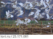Cattle egret (Bubulcus ibis) in flight, Dali City, Eryuan County, Yunnan Province, China, February. Стоковое фото, фотограф Dong Lei / Nature Picture Library / Фотобанк Лори