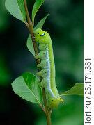 Купить «Oleander hawkmoth (Daphnis nerii) caterpillar, final instar, Crete. August.», фото № 25171381, снято 16 декабря 2017 г. (c) Nature Picture Library / Фотобанк Лори