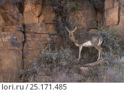 Mountain reedbuck (Redunca fulvorufula) on private game ranch. Great Karoo, South Africa. Стоковое фото, фотограф Pete Oxford / Nature Picture Library / Фотобанк Лори