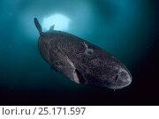 Купить «Greenland shark (Somniosus microcephalus) with parasitic copepod (Ommatokoita elongata), under ice, Lancaster Sound, Nunavut, northern Baffin Island, Canada, Arctic.», фото № 25171597, снято 27 марта 2019 г. (c) Nature Picture Library / Фотобанк Лори