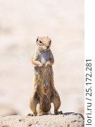 Купить «Barbary ground squirrel (Atlantoxerus getulus) male, Fuerteventura, Canary Islands. Introduced from North Africa.», фото № 25172281, снято 16 августа 2018 г. (c) Nature Picture Library / Фотобанк Лори