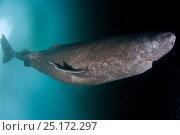 Купить «Greenland shark (Somniosus microcephalus) under ice, Lancaster Sound, Nunavut, northern Baffin Island, Canada, Arctic.», фото № 25172297, снято 27 марта 2019 г. (c) Nature Picture Library / Фотобанк Лори
